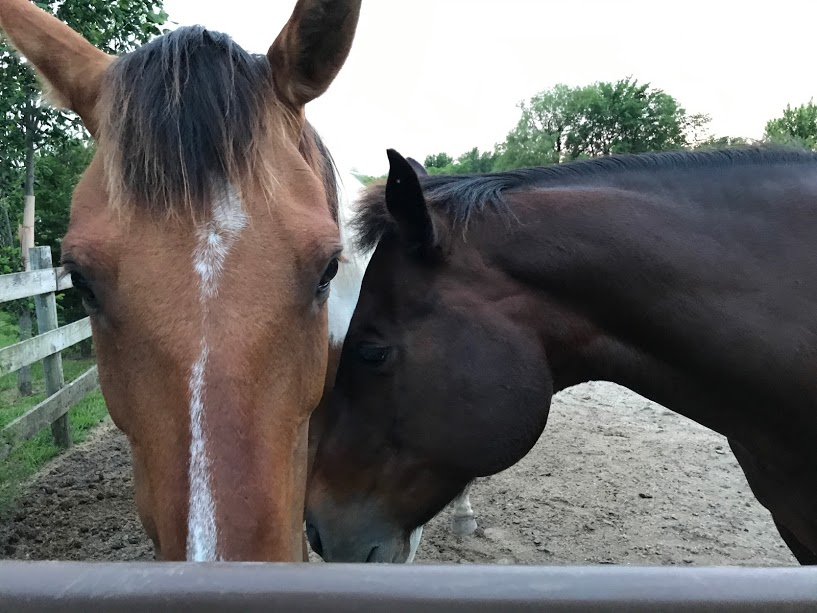 Image of a light brown horse and a dark brown horse taken with the iPhone 7 Plus camera