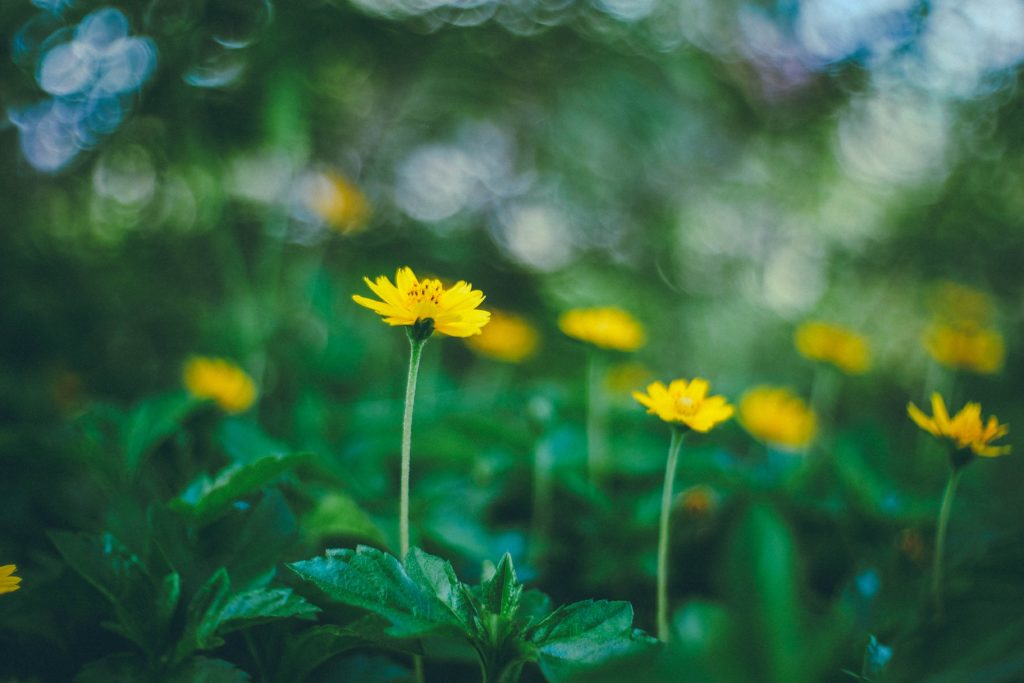 image of a yellow flower with shallow depth of field and a mostly green out of focus background with bokeh