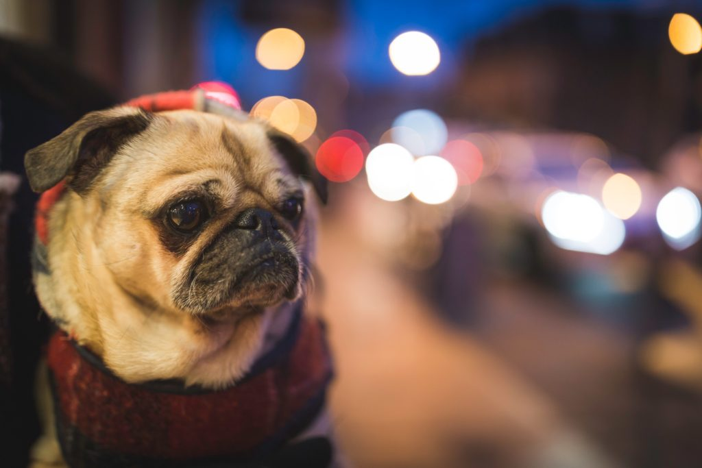 image of a pug dog with bokeh behind him and street lights
