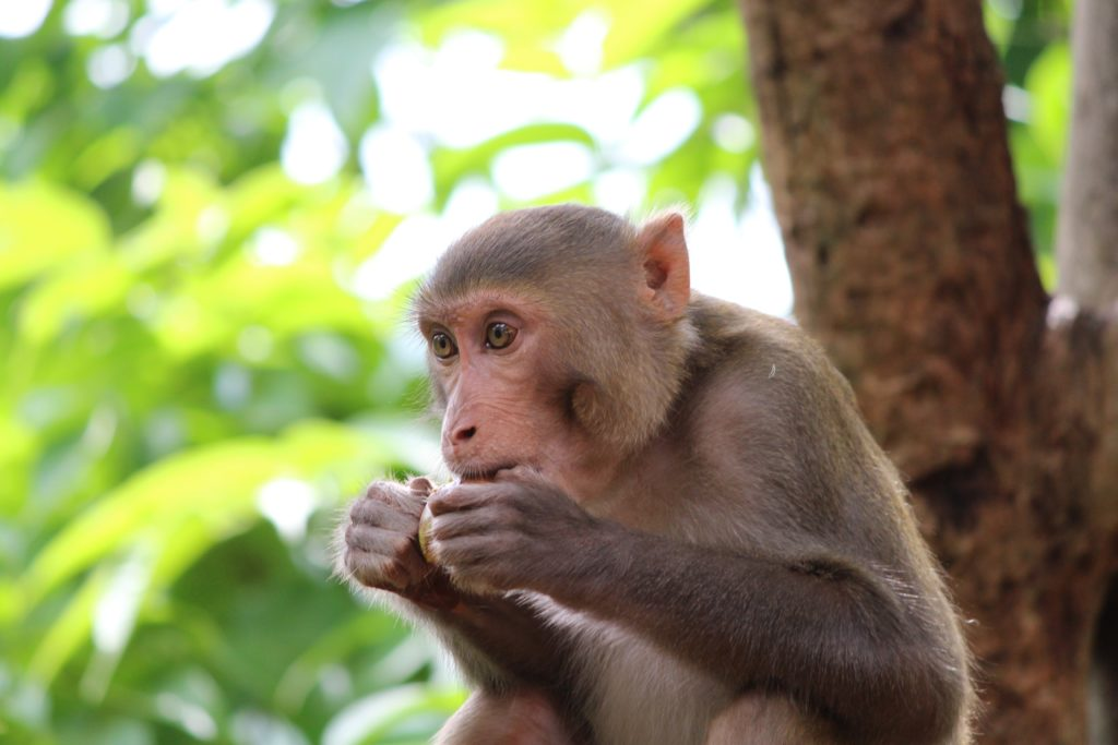 image of a monkey as an example of a blurred background effect
