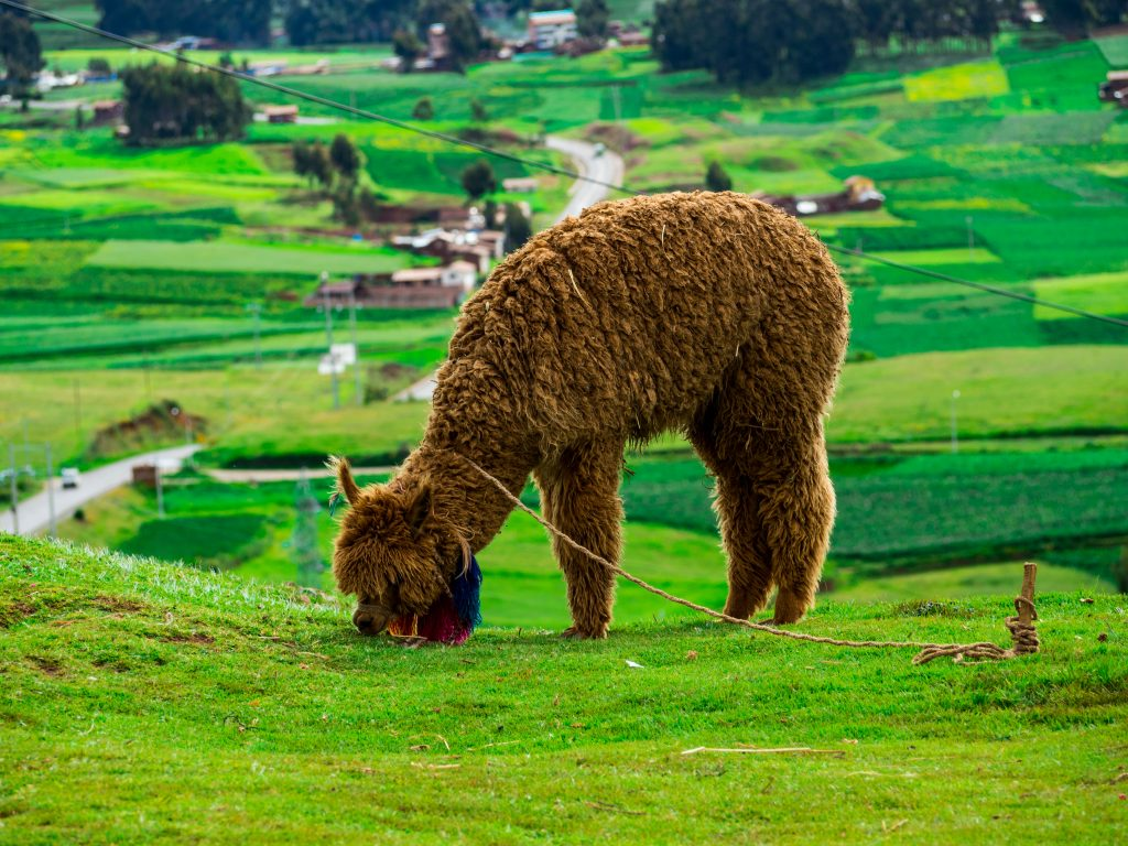 wildlife photography image of an alpaca eating in green grass by Nico Rivas