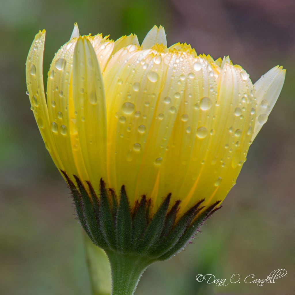 Image of a yellow flower with rain droplets on it that appears to be glowing from the inside