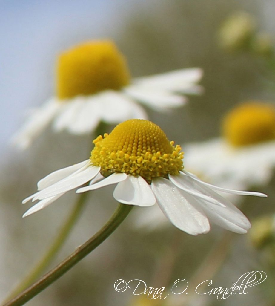 Macro photo of chamomile flowers with one prominent one in the center of the frame with a yellow inner bud surrounded by white petals slanted downwards