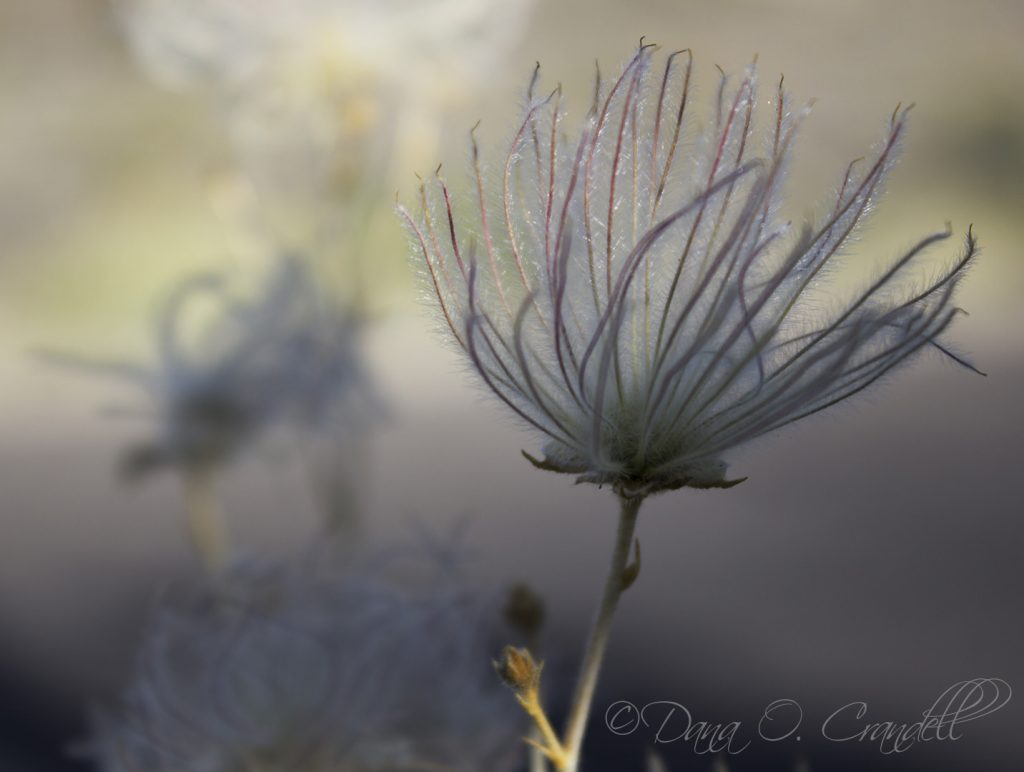 Photo of an apache plume in nature as an example of how to get creative in nature photography