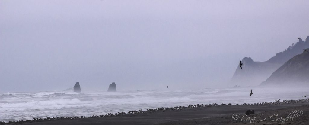 Photograph of a foggy shoreline with a large gathering of birds