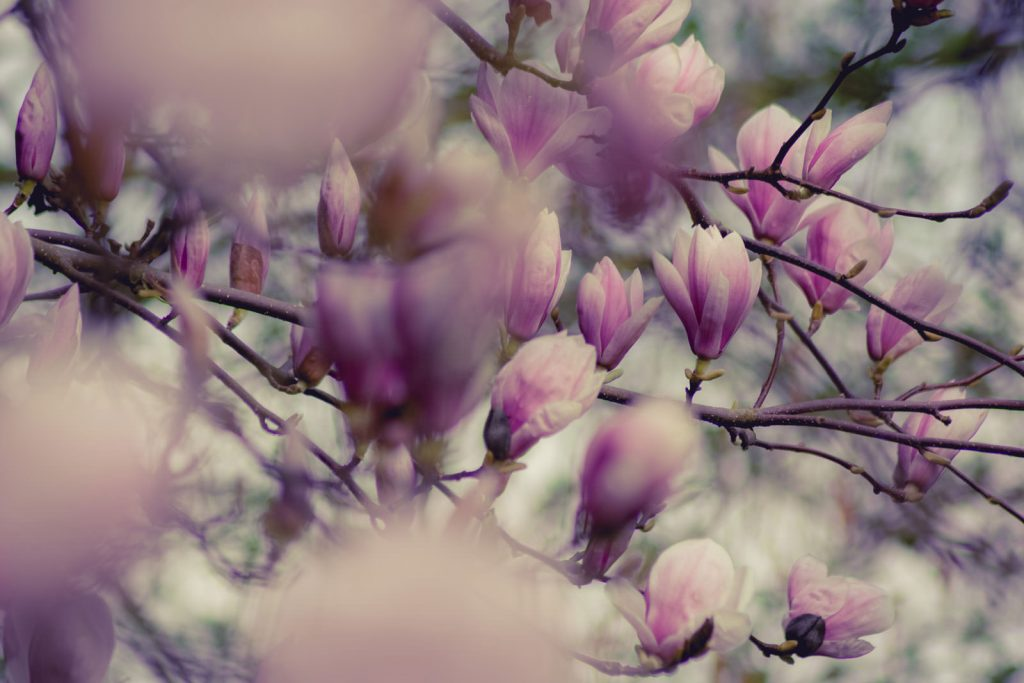 Photo of pink flowers on a tree with shallow depth of field