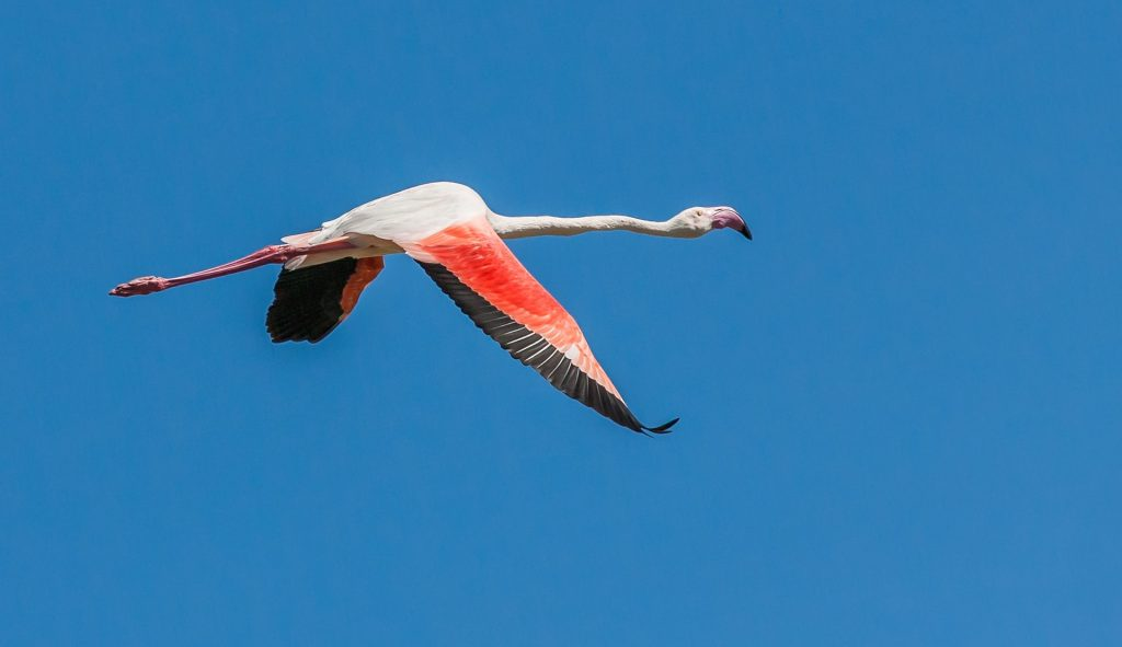 Image of a flamingo flying against backdrop of a blue sky