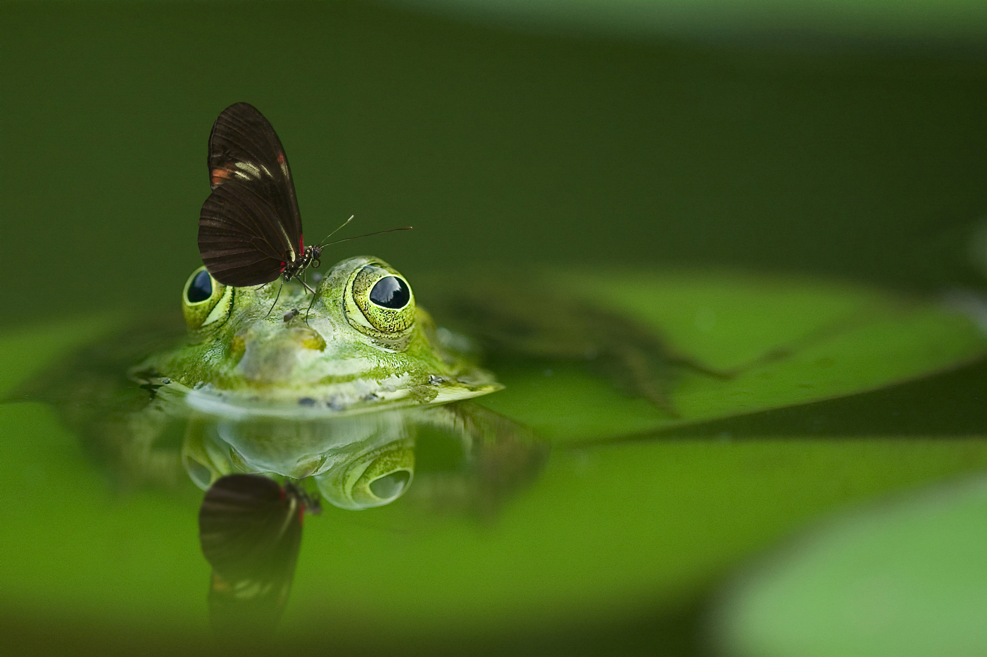 An example of creative nature photography; a frog sticking out of a pond on a lily pad with a butterfly on it