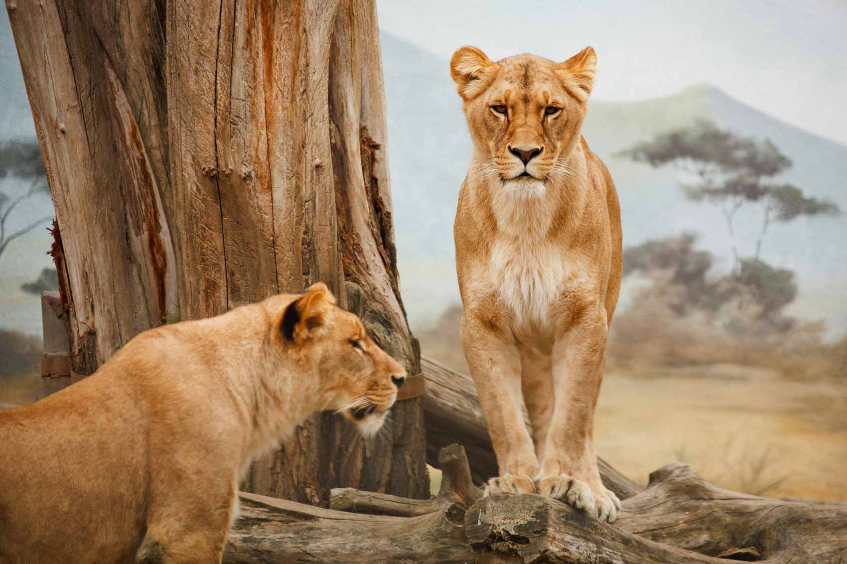 Image of two lions next to a tree