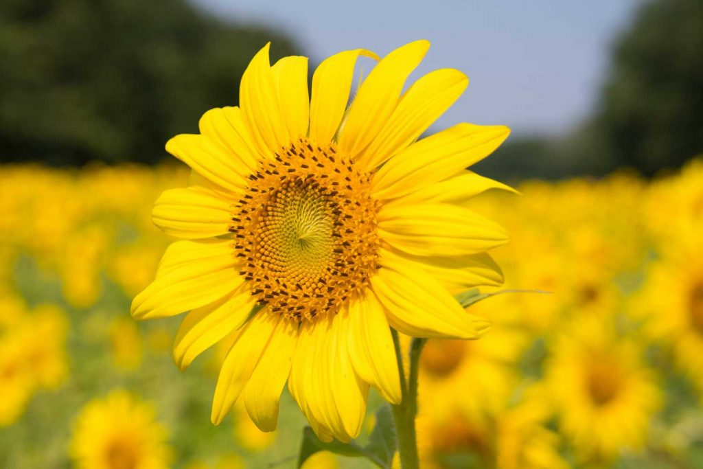 Image of a yellow sunflower in a field