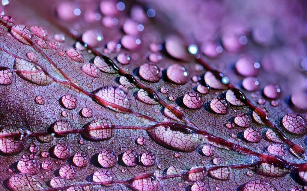 Macro image of a purple leaf with water droplets on it