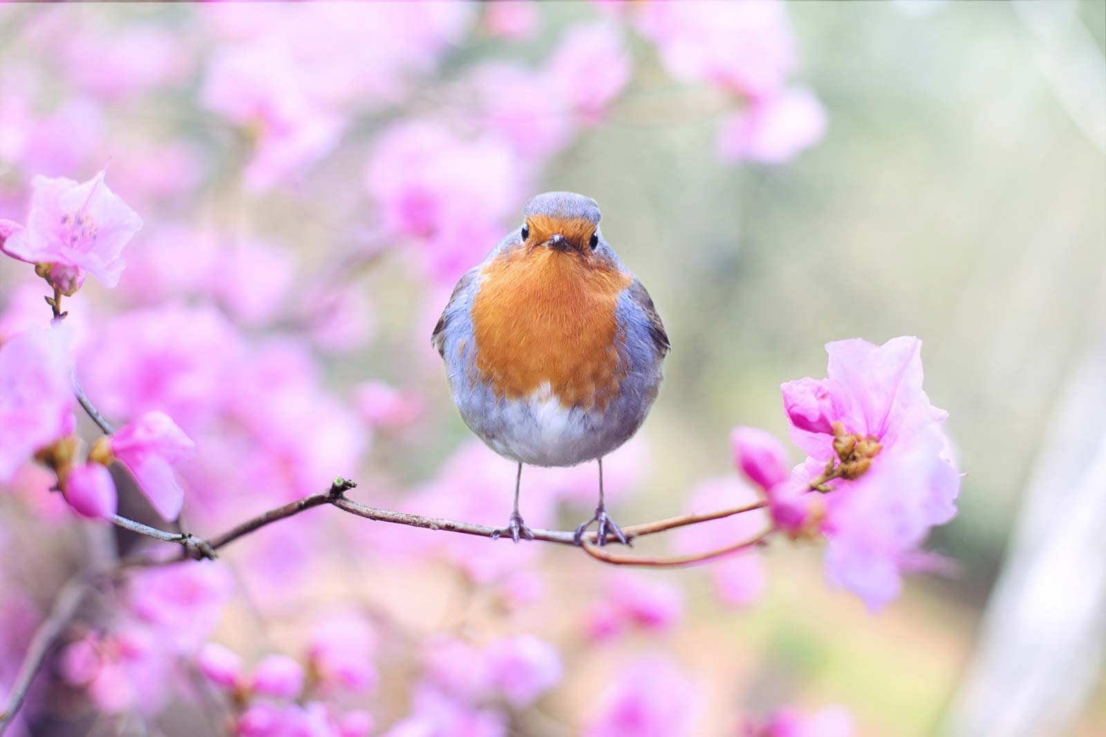 Image of a fat orange bird on a branch in front of pink blossoms