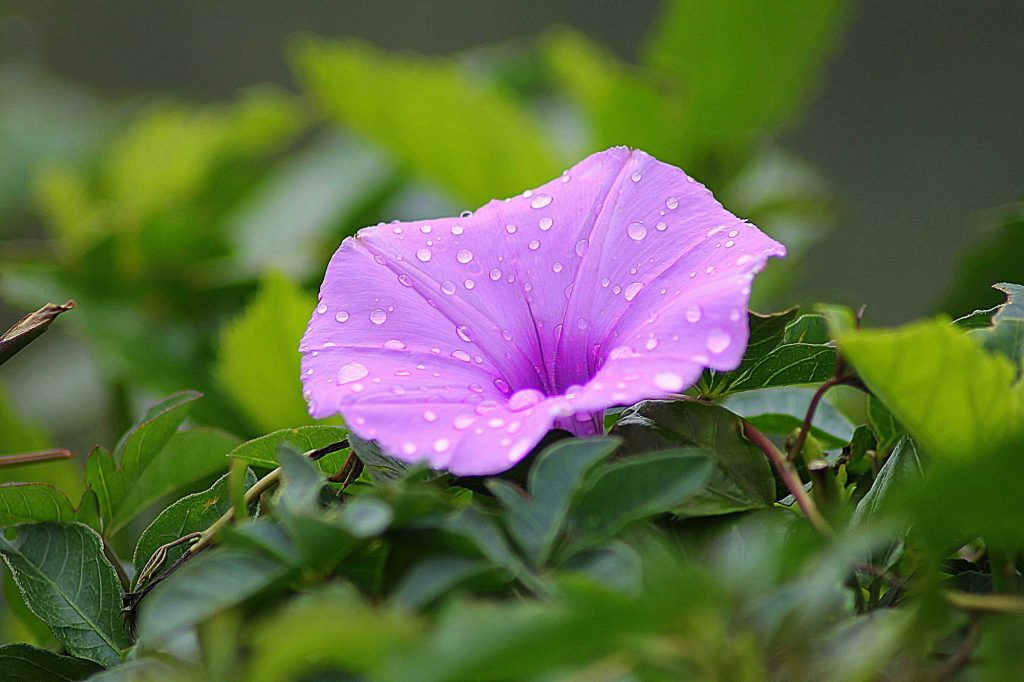 Image of a pink flower with dew drops on it and green leaves