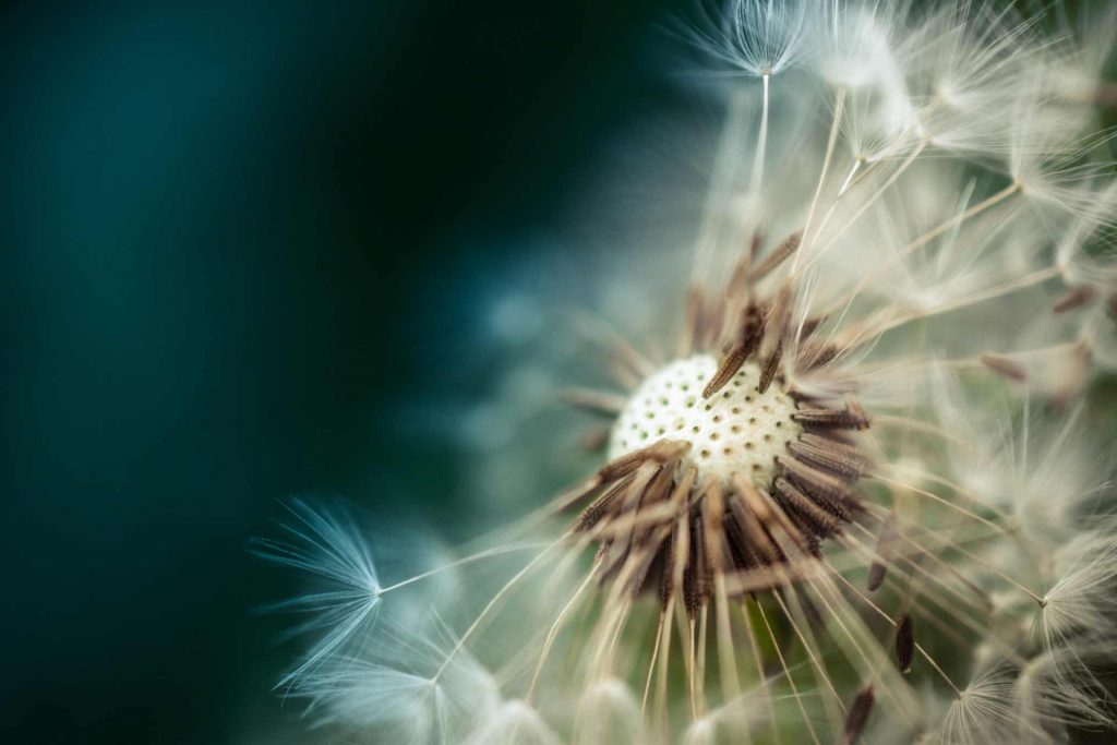 Macro photography image of a dandelion up close