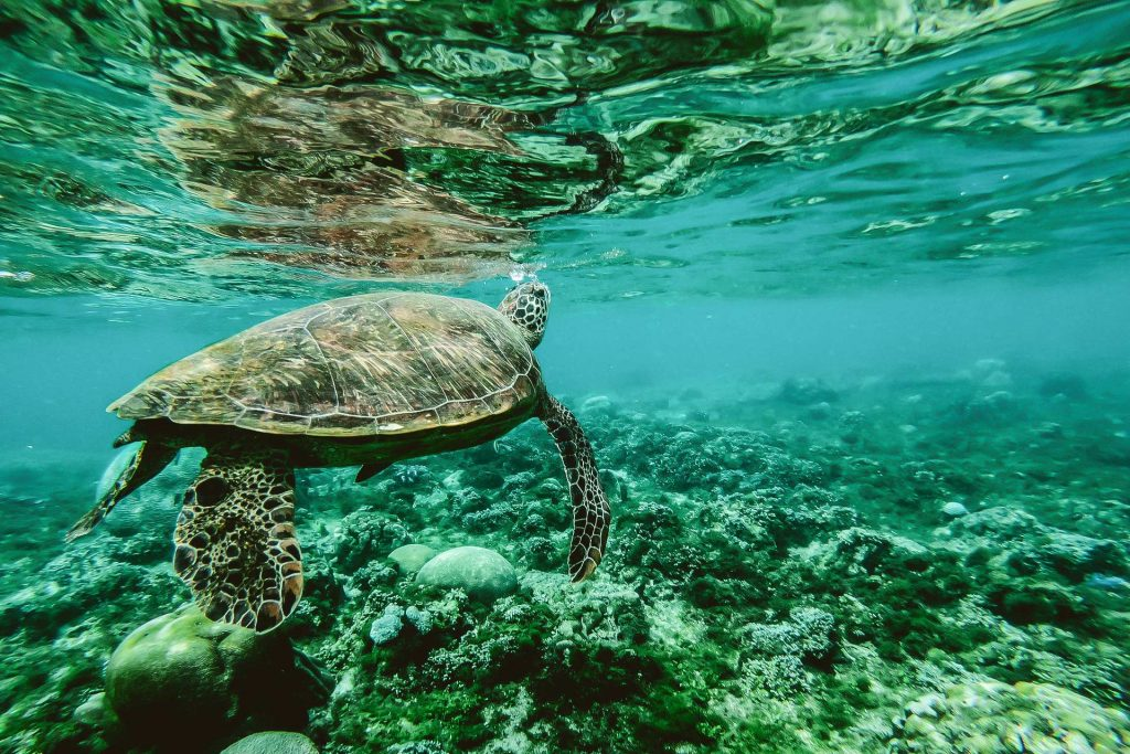 Wildlife photography image of a large sea turtle swimming in the ocean